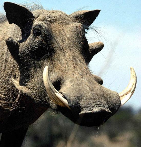 Lợn nanh sừng châu Phi (Phacochoerus africanus) là một loài lợn hoang thuộc họ lợn, chúng sinh sống ở thảo nguyên hay rừng gỗ ở châu Phi cận Sahara.