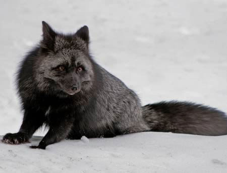 """Cáo lông bạc là một dạng mắc bệnh hắc tố của cáo lông đỏ. Bệnh hắc tố xảy ra khi có sự phát triển bất thường của sắc tố sẫm màu trong da. Các con cáo mang bệnh thể hiện nhiều sắc độ khác nhau trên màu da và bộ lông của chúng: một số con đen toàn thân, trừ phần mỏm đuôi màu trắng; trong khi số khác có thể mang màu xám xanh. Trong tự nhiên, các con cáo bạc có thể là anh chị em ruột với những con cáo lông đỏ bình thường khác. Chúng cũng không """"kén"""" việc giao phối với riêng các thành viên bị đột biến như mình."""