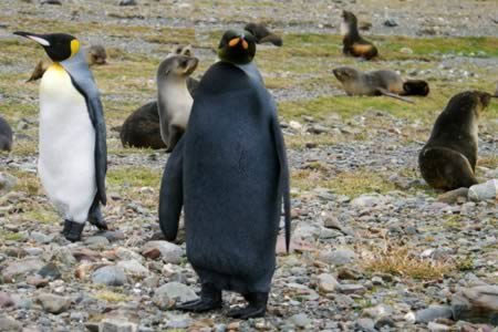 Một con chim cánh cụt đen hoàn toàn, cực hiếm được Andrew Evans - phóng viên của tạp chí National Geographic phát hiện gần Nam cực. Con chim cánh cụt hoàng đế này trông không giống những đồng loại trong bộ cánh tuxedo vì một loại đột biến có tỷ lệ xuất hiện 1 phần tỷ.