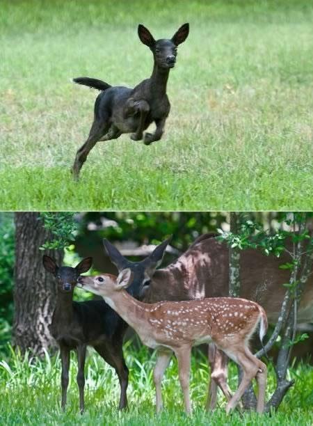 Ảnh về một con nai đen hiếm gặp ở Austin, Texas, Mỹ.