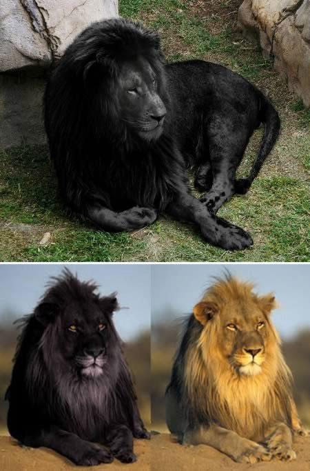 Trong vài tuần trở lại đây, 2 bức ảnh ấn tượng về sư tử đen đang lan truyền nhanh trên mạng Internet. Lí do khiến chúng thu hút sự chú ý đến như vậy là vì, theo ngành động vật học chính thống, sư tử đen đơn giản không tồn tại trong thực tế. Nếu có, chúng nhiều khả năng nhất là các cá thể bị bệnh hắc tố. Điều đáng buồn với những người vẫn luôn hy vọng về một phát hiện động vật mới lạ, đây hoàn toàn là các sản phẩm của kỹ thuật tạo hiệu ứng ảnh photoshop.