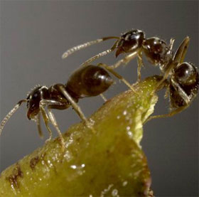 """Loài kiến bí ẩn """"bấm"""" chuông lúc nửa đêm"""