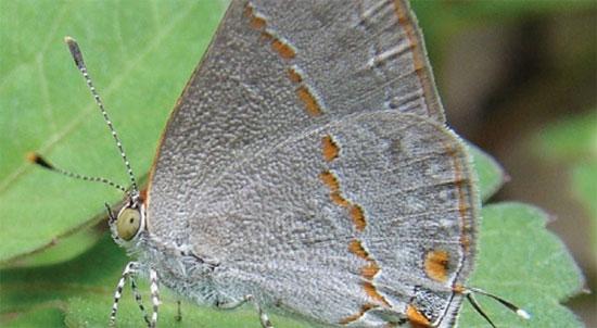 Xác định một loài bướm mới