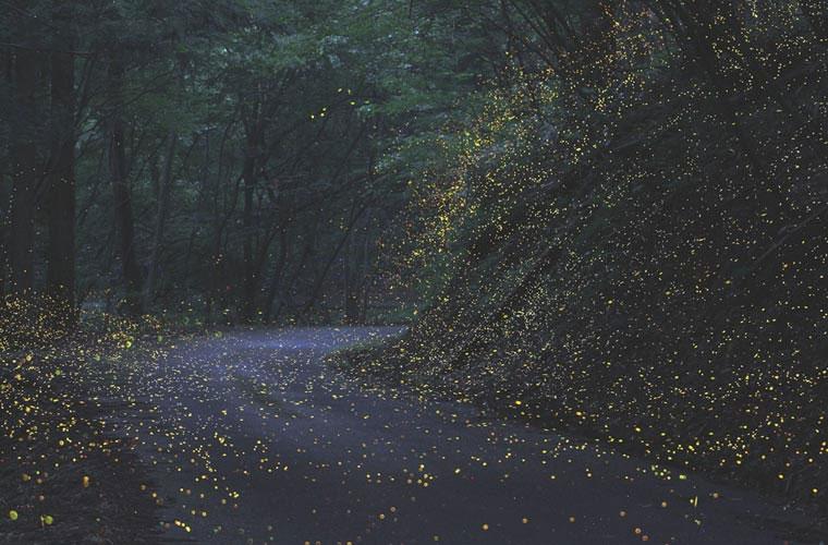 Hàng ngàn con đom đóm thắp sáng cả khu rừng