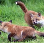 Ảnh đẹp: Bầy cáo đỏ mới sinh siêu dễ thương