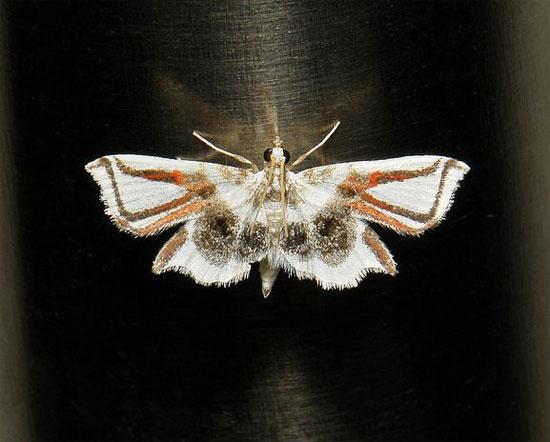Sâu bướm đội lốt nhện