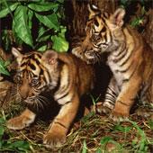 Hổ Sumatra tại Jambi có thể sớm bị tuyệt chủng
