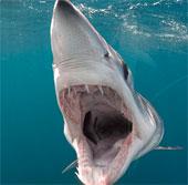 Video: Cá mập Mako vây ngắn khổng lồ