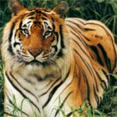 Virus của chó nhà đe dọa hổ châu Á