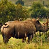 Thêm một phân loài tê giác tuyệt chủng