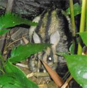 Phát hiện loài thú cổ thỏ vằn tại Khu bảo tồn Sao La
