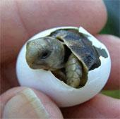 Rùa có thể tự chọn giới tính từ trong trứng