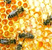 Lập ngân hàng tinh trùng ong
