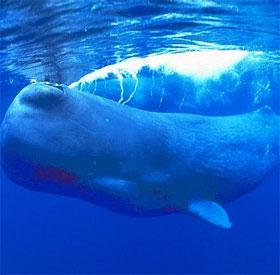 Vì sao loài động vật biển có vú có thể thở lâu dưới nước?