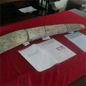 Một người ở Gia Lai sở hữu ngà voi niên đại hơn 19.000 năm