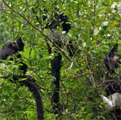 Bảo tồn quần thể voọc đen má trắng ở Tuyên Quang