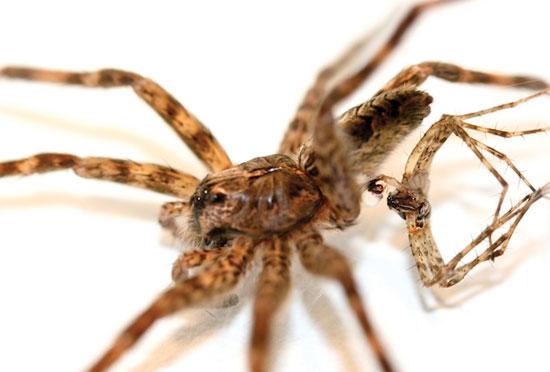 """Kỳ dị loài nhện chết vì... """"thượng mã phong"""""""