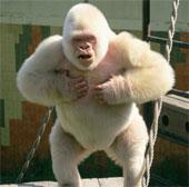 Khỉ đột bạch tạng là sản phẩm của loạn luân