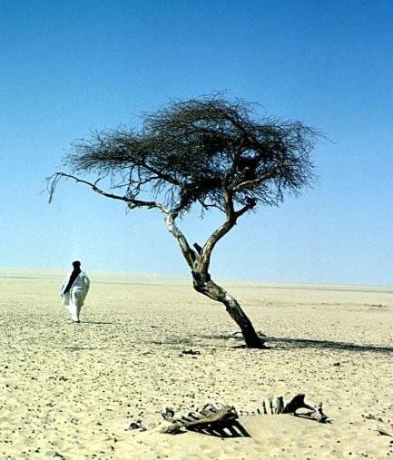Chuyện đời cây keo cô độc nhất hành tinh