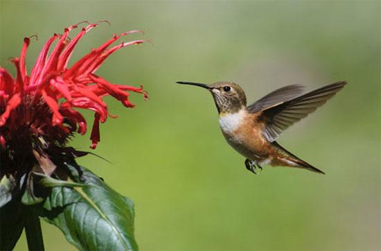 Loài chim nhỏ hơn cả đồng xu