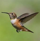 Loài chim bé hơn cả đồng xu