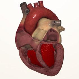 Những điều có thể nhiều người chưa biết về trái tim