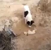 Video: Cảm động chó mẹ đào đất chôn con