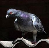 Chim bồ câu bay vượt Thái Bình Dương
