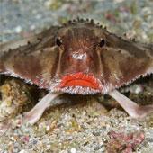 Loài cá có đôi môi gợi cảm