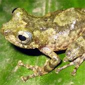 Thêm một loài ếch cây được phát hiện ở Việt Nam