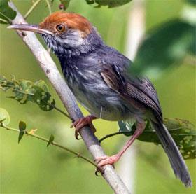 Phát hiện một loài chim mới, mào đỏ ở Campuchia