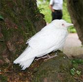 Quạ trắng quái dị xuất hiện tại Anh