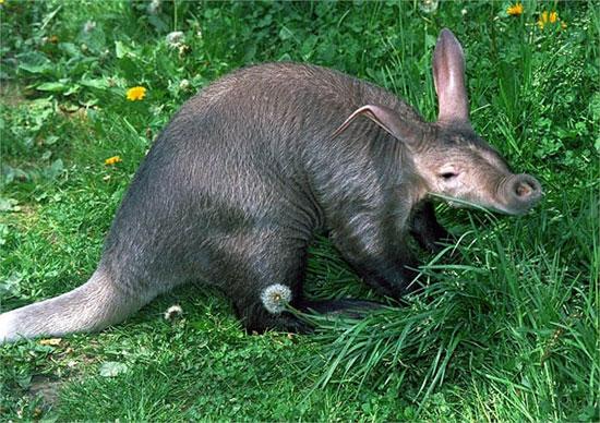 Lợn đất là loài động vật có vú sinh sống ở châu Phi