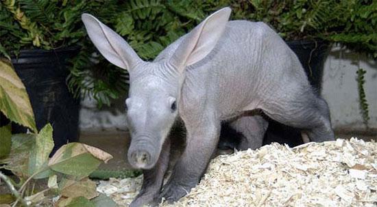 Chúng được coi là một trong những loài thú lạ lùng nhất thế giới.