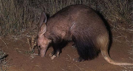 Lợn đất là đại diện duy nhất của bộ động vật răng ống