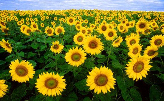 Nhật trồng hoa hướng dương chống phóng xạ