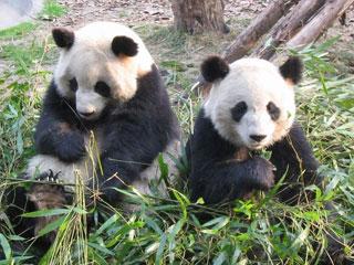 Clip gấu trúc khôn ngoan trốn khỏi vườn thú