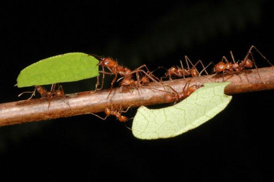Hành vi xã hội của kiến cắt lá có liên quan tới gen