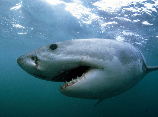 New Zealand: Cá mập trắng cũng có kỳ nghỉ đông