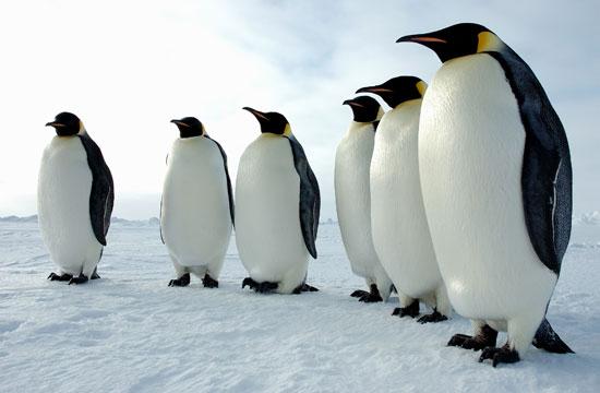 Tại sao chim cánh cụt Nam Cực sợ bóng tối?