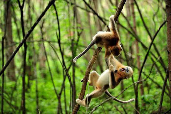 Ảnh đẹp: Khỉ vàng đùa nghịch trong rừng