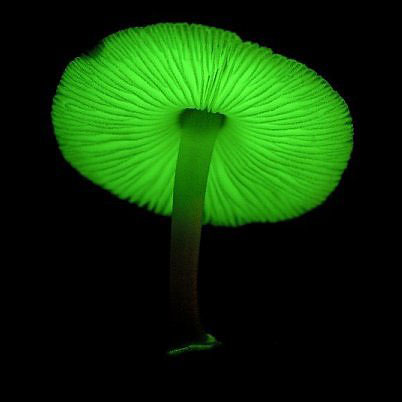 Trong nấm có chứa các bào tử phát sáng