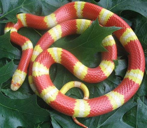 """""""Vẻ đẹp kinh hồn"""" của những con rắn màu mè"""