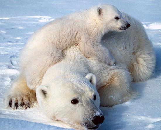 Gấu trắng Bắc cực vào danh sách bảo vệ đặc biệt