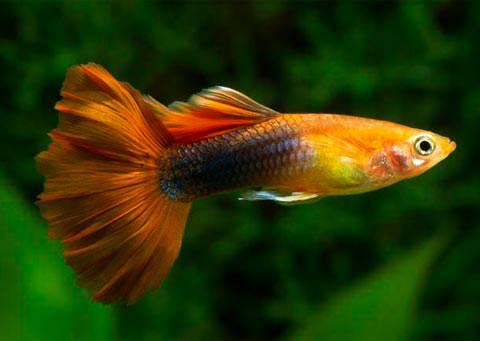 Cá bảy màu đực