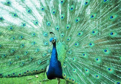Chim công đực