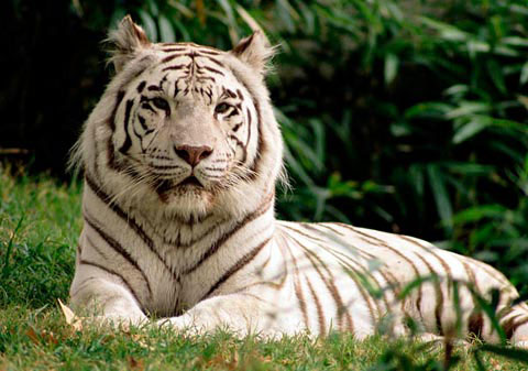 Hổ trắng Bengal