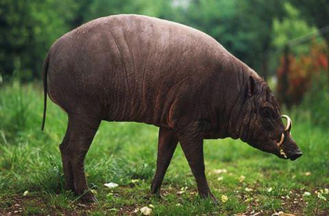 Lợn Babirusa (lợn hươu)