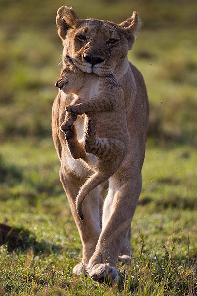 Ảnh đẹp động vật kiếm ăn trên cánh đồng