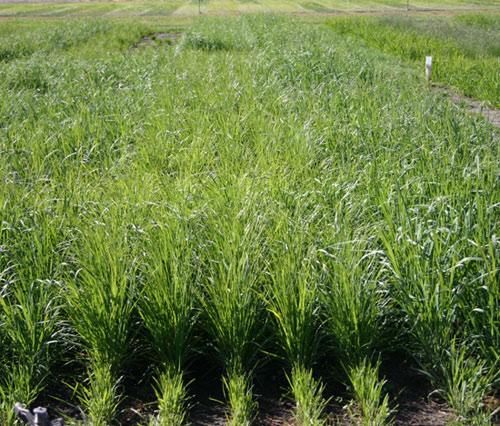 Symbiogenics: Chiến lược giảm thiểu tác động của biến đổi khí hậu lên cây lúa